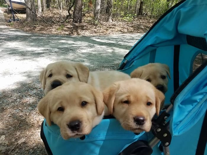 Labrador puppies in dog stroller