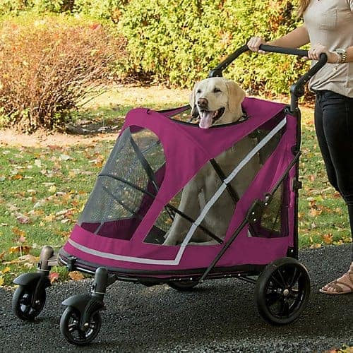 Labrador Retriever in dog stroller