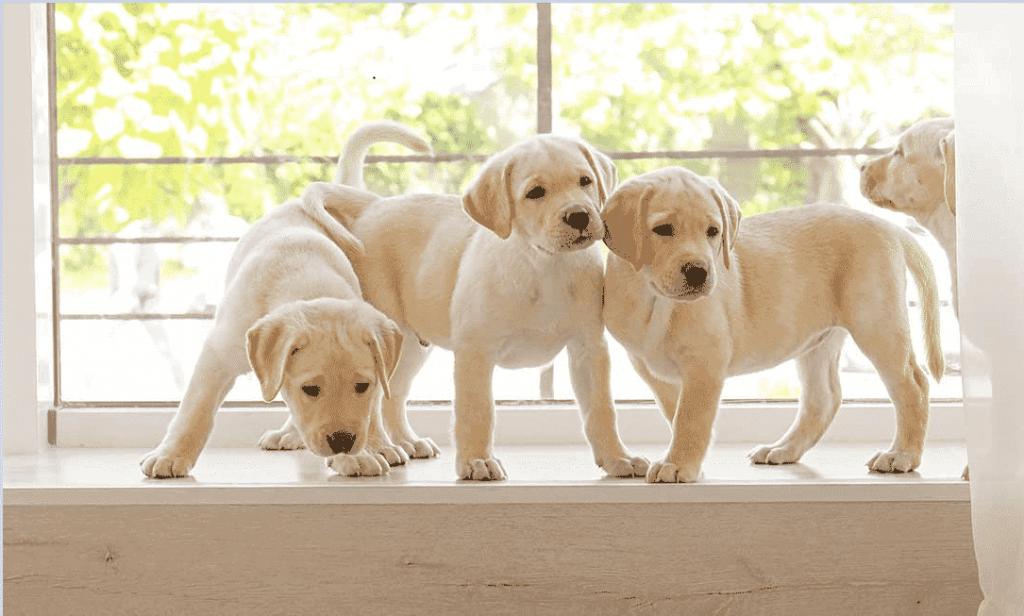 Three English Labrador Puppies