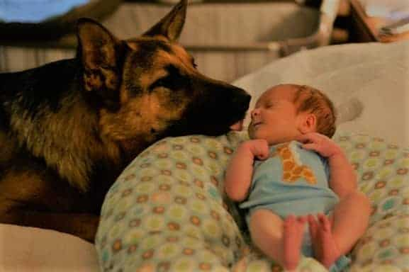 German Shepherd showing some love to baby