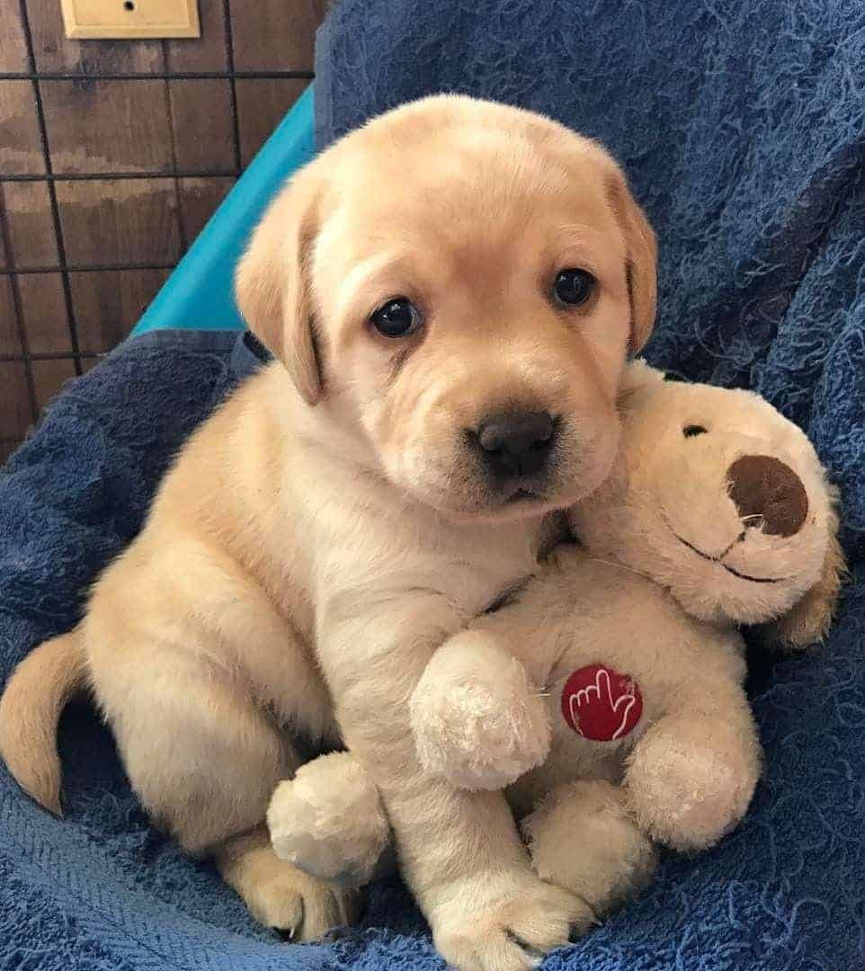 Labrador puppy with teddy