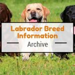 Labrador Retriever Dog Breed Personality Info History
