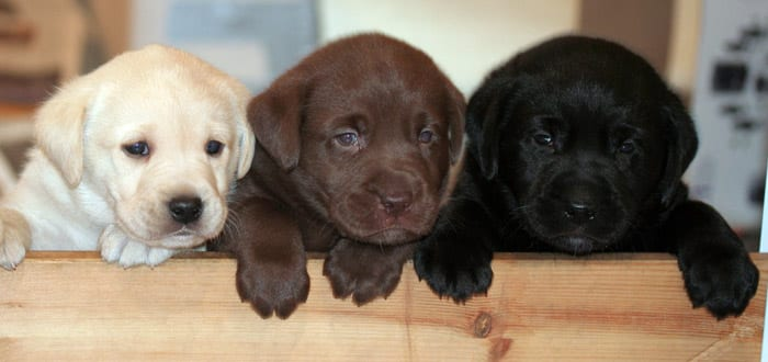 Labrador Retriever dog puppies