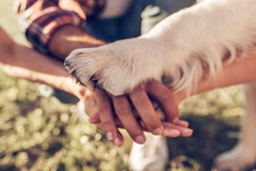Labrador Retriever holding owner hands
