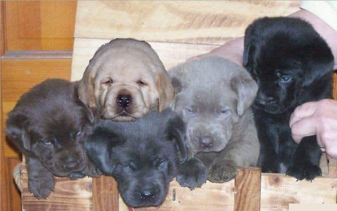Labrador Retriever of different colors