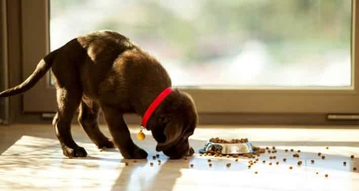 Labrador puppy feeding