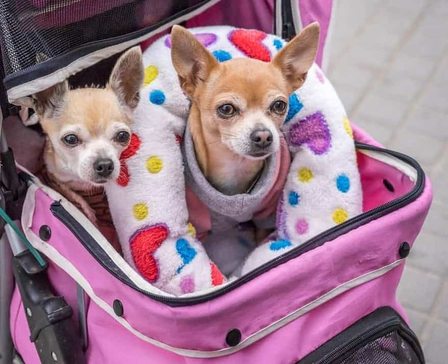 Two cute dogs in the stroller