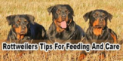 Rottweiler Tips For Feeding And Care
