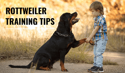 Rottweiler-Training-Tips