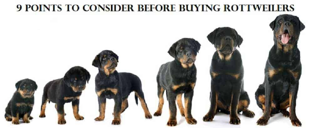 Rottweiler breed information