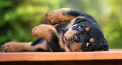 Rottweilers Health Problems