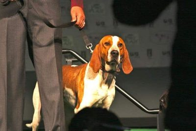 American English Coonhound​
