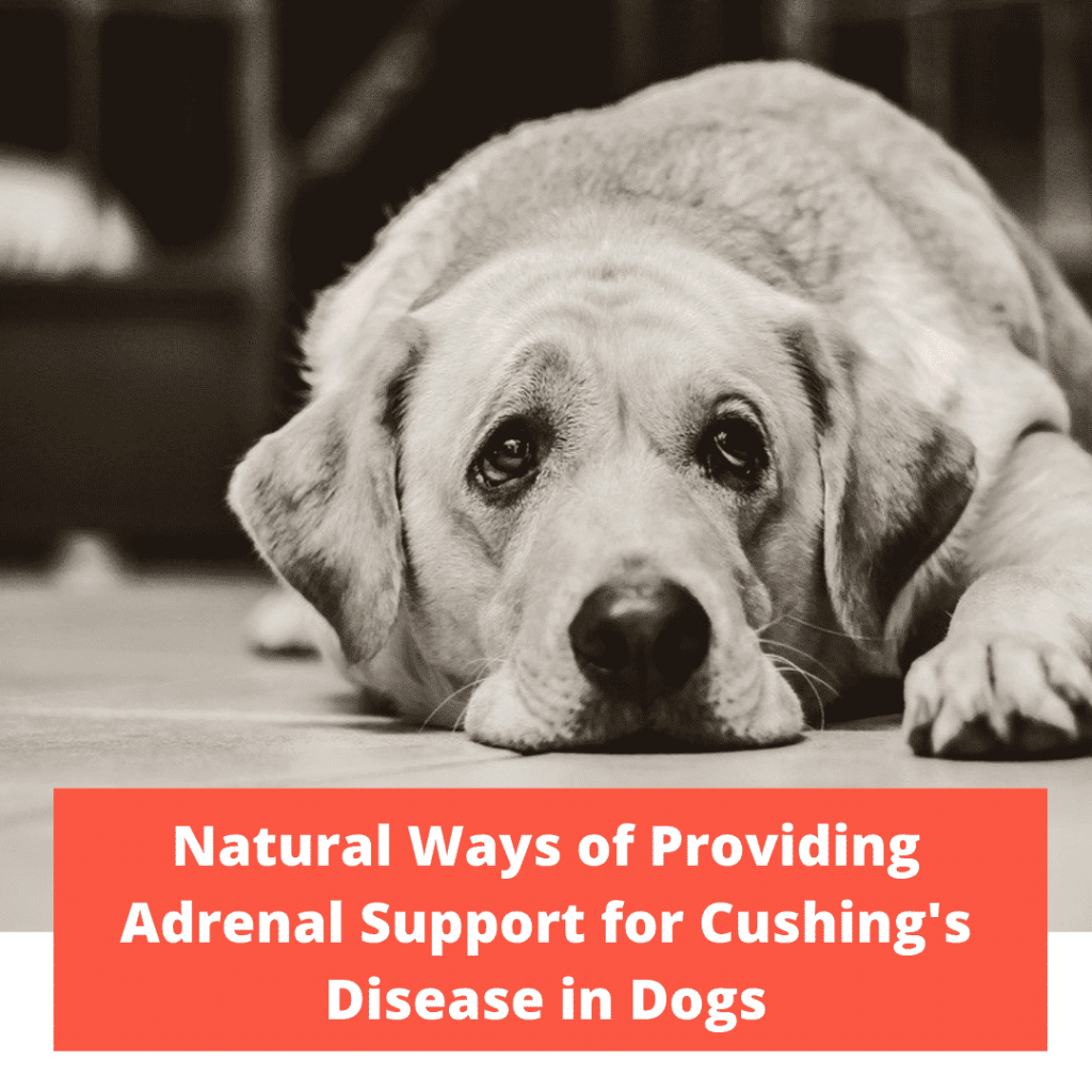 Providing Adrenal Support for Cushing's Disease in Dogs