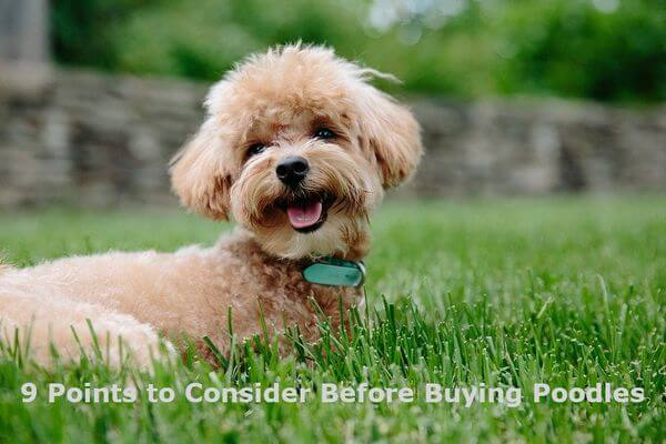 9 points to consider before buying Poodles
