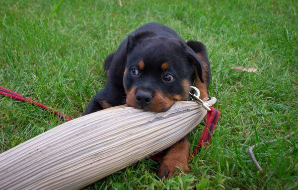 Rottweiler chewing