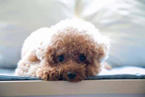 Small Poodle